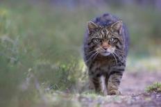 BM-wildcat-127